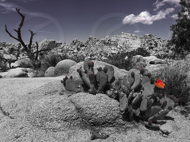 grayscale photo of cactus on desert during daytime photo