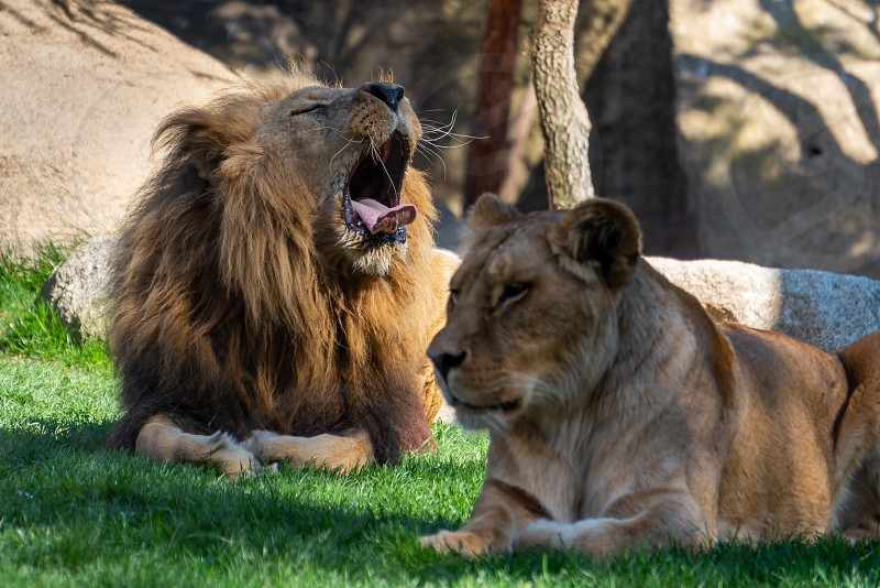VALENCIA SPAIN - FEBRUARY 26 : African Lions at the Bioparc in Valencia Spain on February 26 2019 photo
