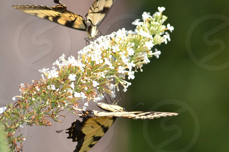 beige and black butterfly photo