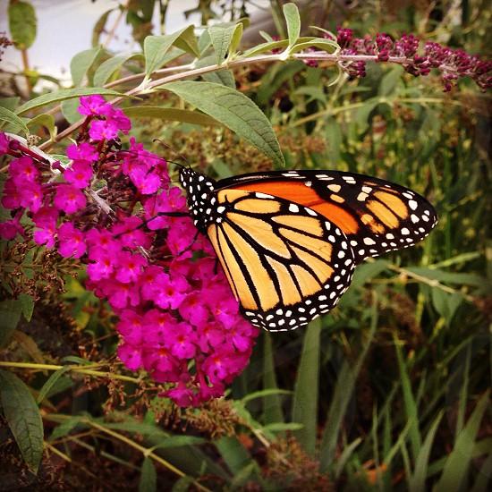 Majestic monarch Washington DC 2014. photo