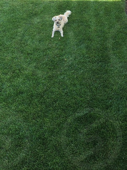 white and gray haired dog laying on green grass photo