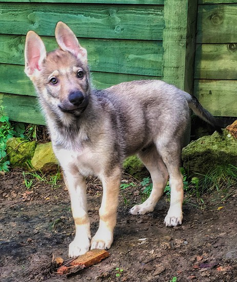 German shepherd puppy near the green wooden fence during daytime photo