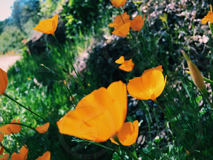 Poppies blooming in the Sierra foothills of California.  photo