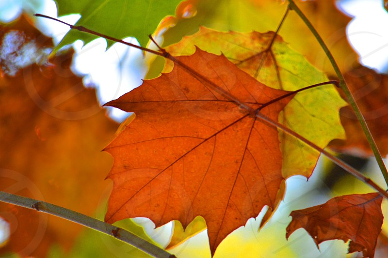 shallow focus photography of maple leaf photo