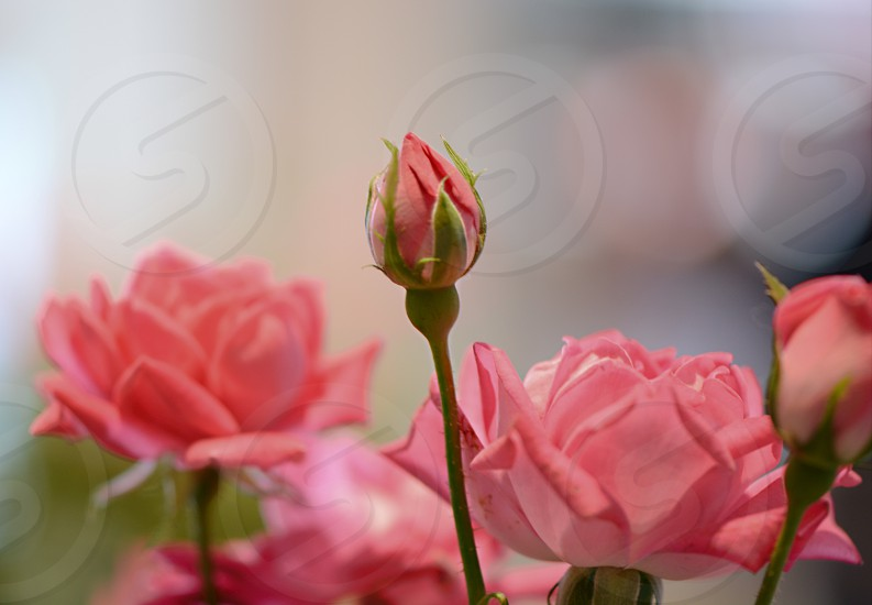 pink rose flowers in selective focus photography photo