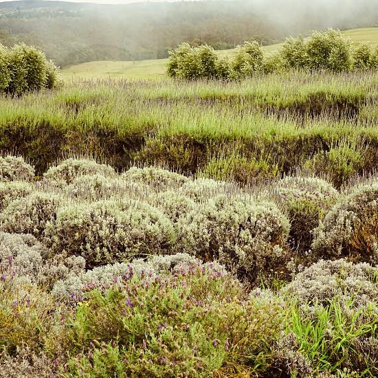 Green field lavender plant flower farm outdoor grow  photo