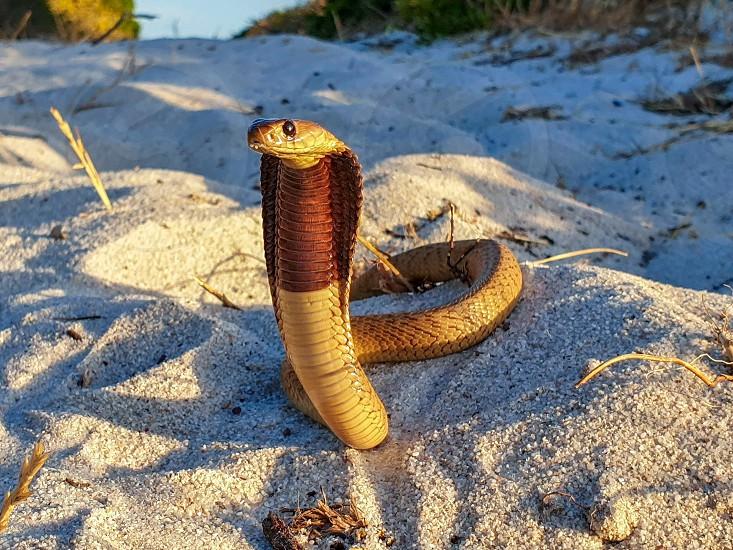 Cape Cobra (Naja nivea) - a venomous snake (reptile). photo