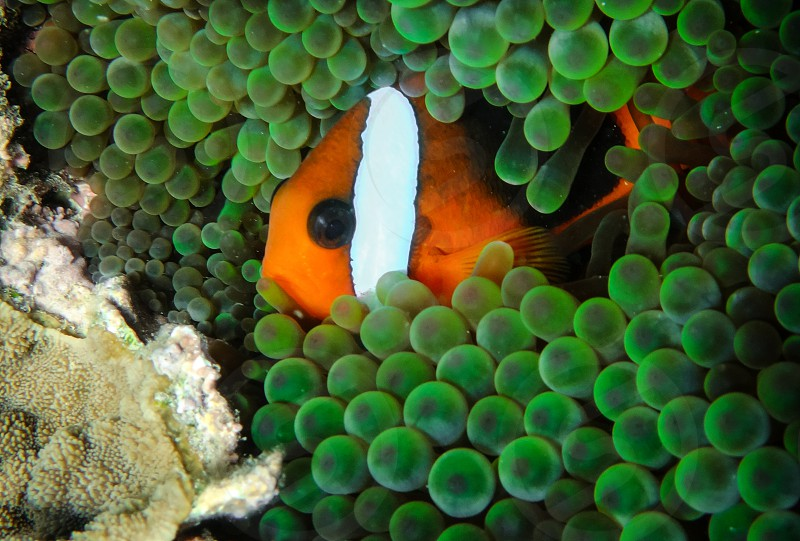 fish nemo snorkel green blue anemone coral reef snorkel dive fish marine species nature clown fish underwater plant animal noumea macro photo