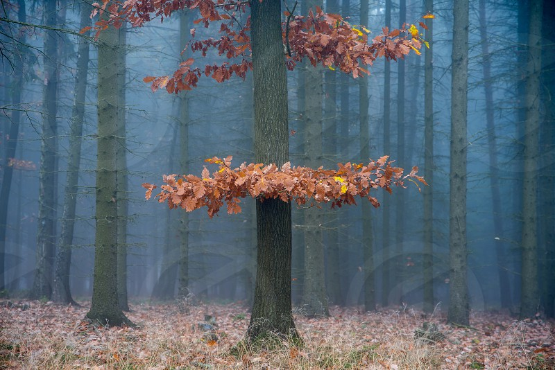One red tree in the autumn foggy forest. photo