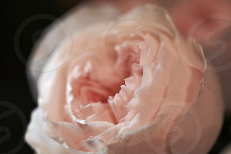 white rose in macro photography photo