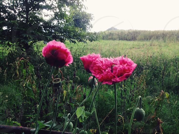 Ruffled poppies English countryside  photo