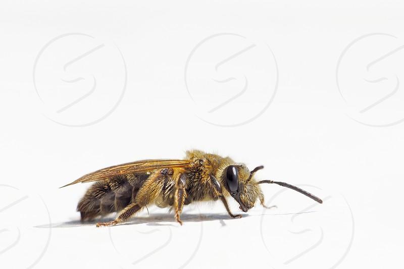 Close up of a honey bee looking at camera. photo