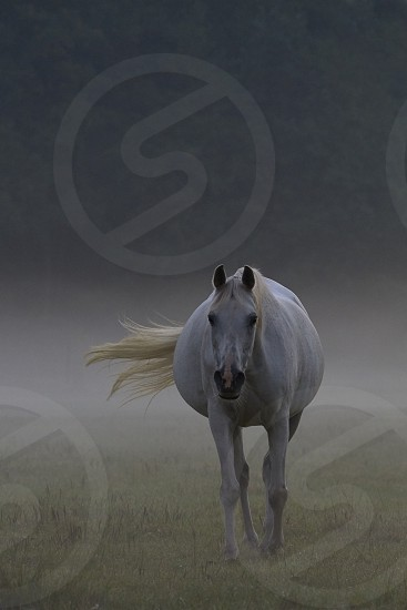 A wild horse standing in a field in early morning fog photo