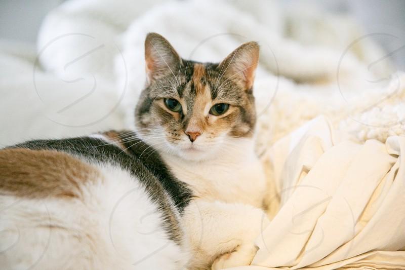 calico cat lying  photo