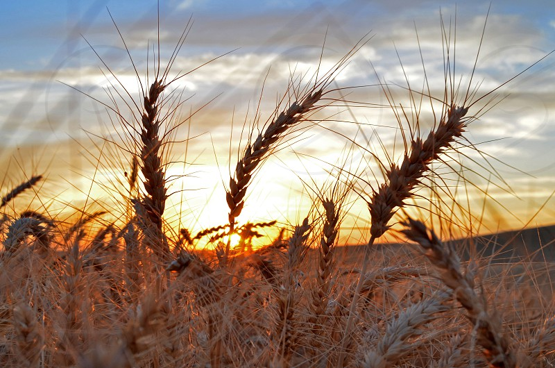 Time to harvest the wheat: Farm to Table photo