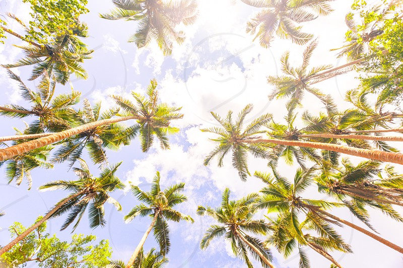 Ants view of palms looking up with in the background beautiful white clouds and a blue sky. photo