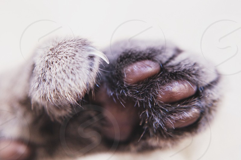 polydactyl cat paw photo