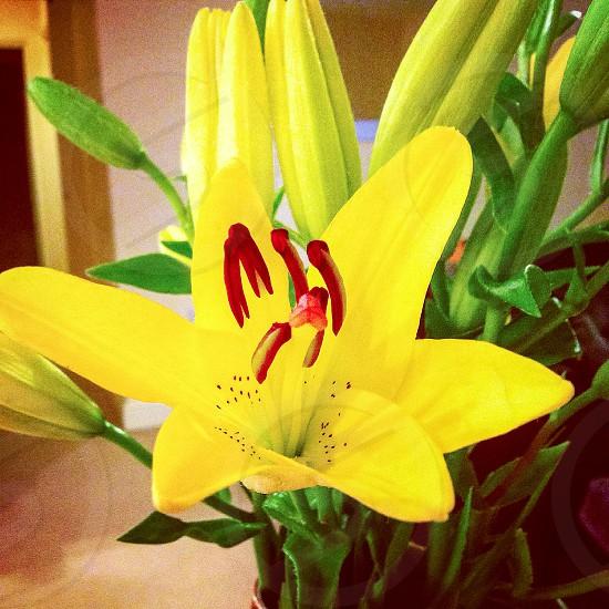 Yellow Lilies - Sunshine photo