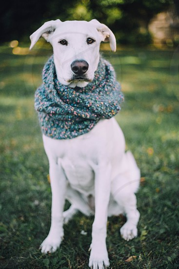 Dog lab Labrador scarf warm photo