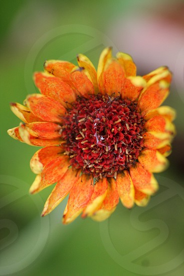 orange and red ornamental flower photo