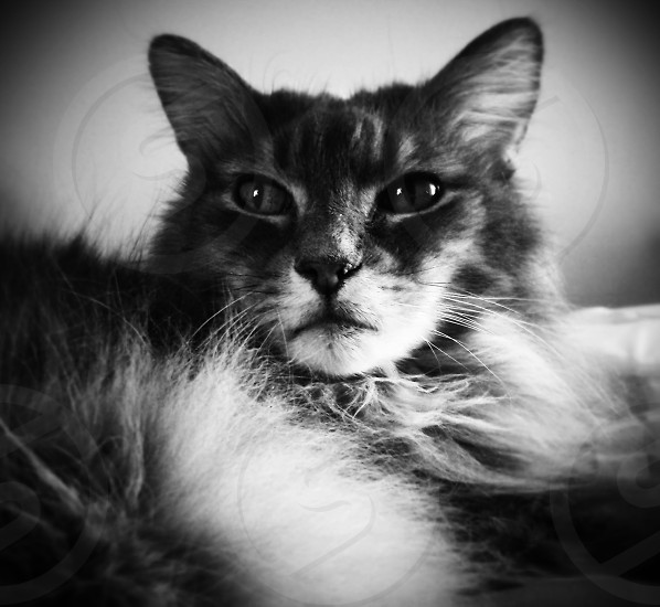 My Maine Coon Leo posing before taking a nap. photo