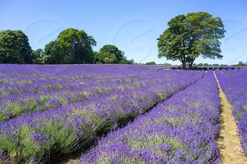 People enjoying a Lavender field in Banstead Surrey photo