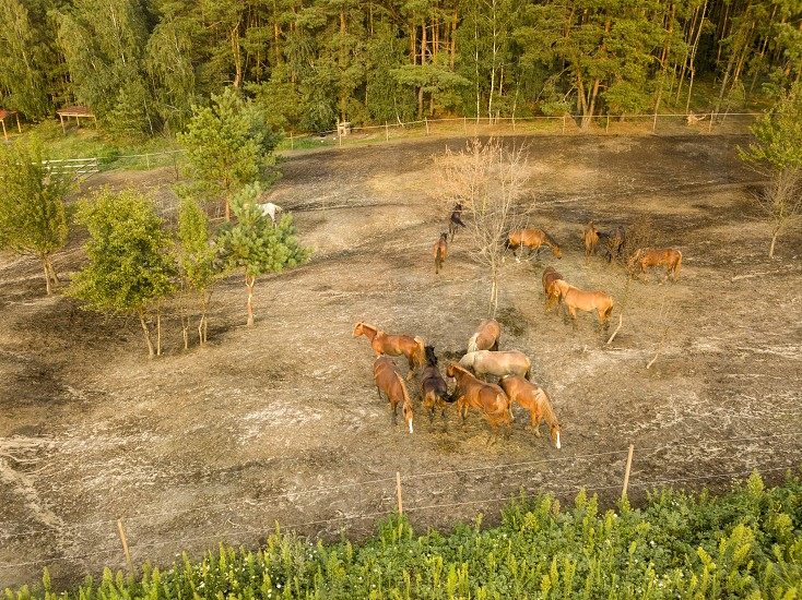 Aerial view from the drone of a small herd of horses for walking near the forest. photo
