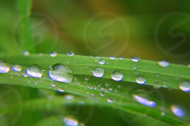 Dew Grass  photo