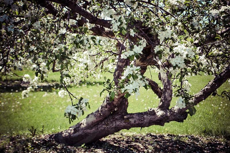 Flowering Apple Tree photo