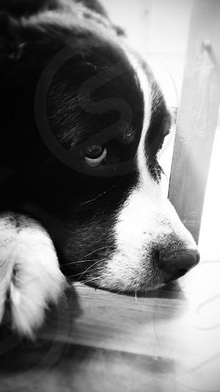 Bernese Mountain Dog  Close up Black and White  Pet photo