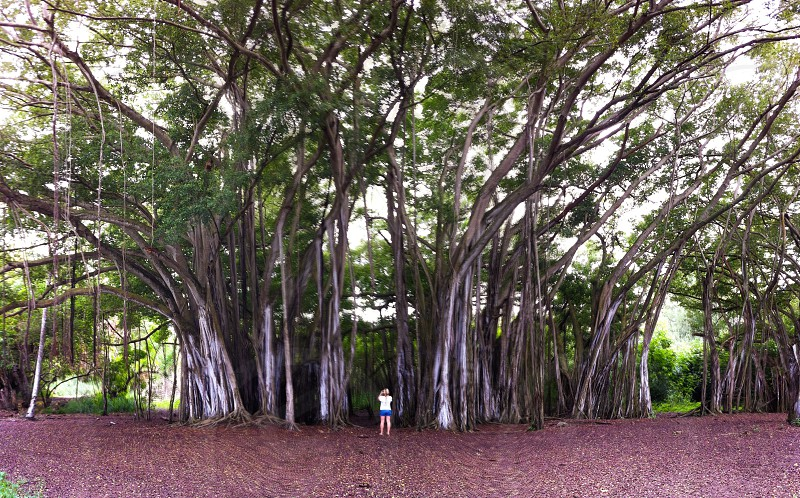 This is a photo of a Mobile photographer taking a pictures in a banyan tree forest on the north shore of Oahu.  photo