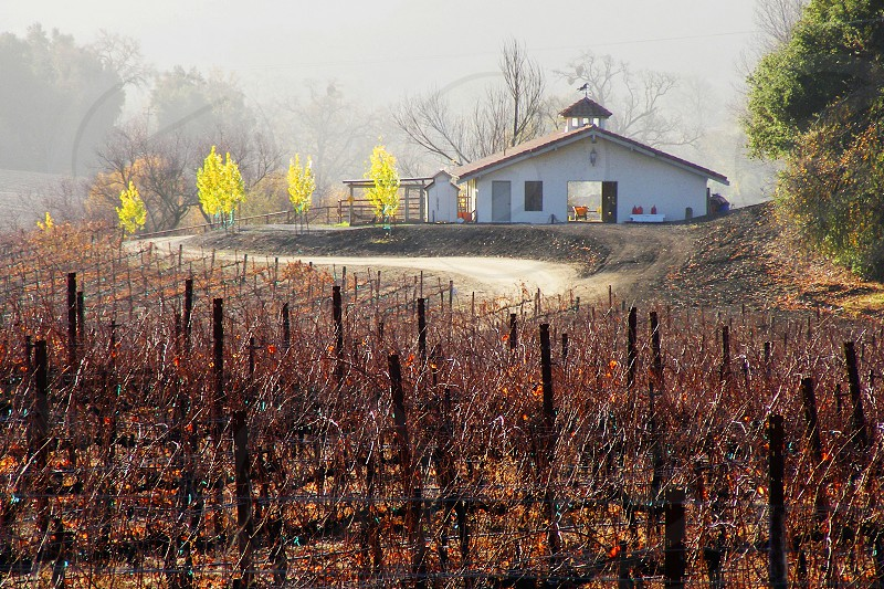 Through morning mist a vineyard is seen in the foreground of a Sonoma county farm. photo