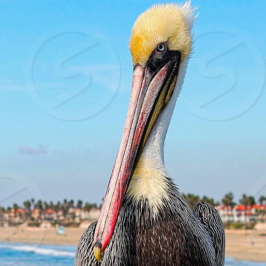 Close up of a pelican on a rail..Huntington Beach CA photo