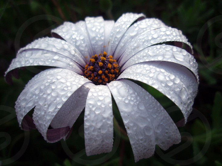 Morning dew droplets on flower petals photo