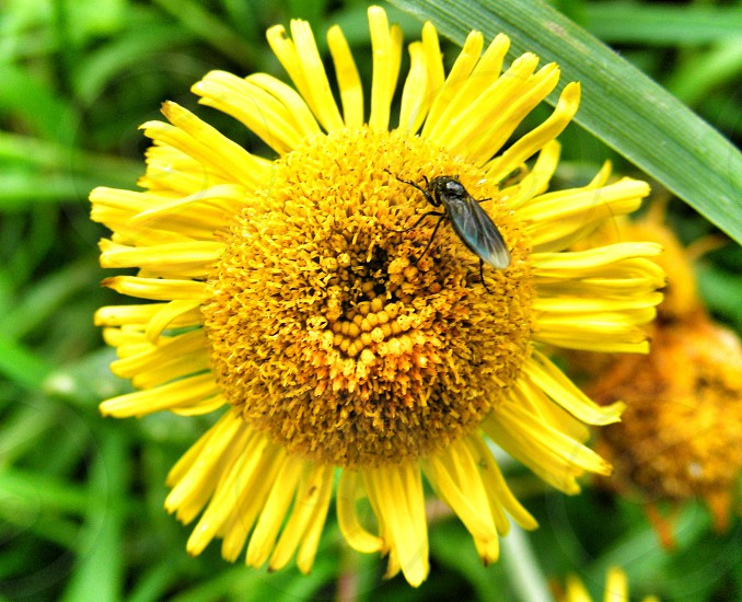 black small winged insect on yellow pollen photo