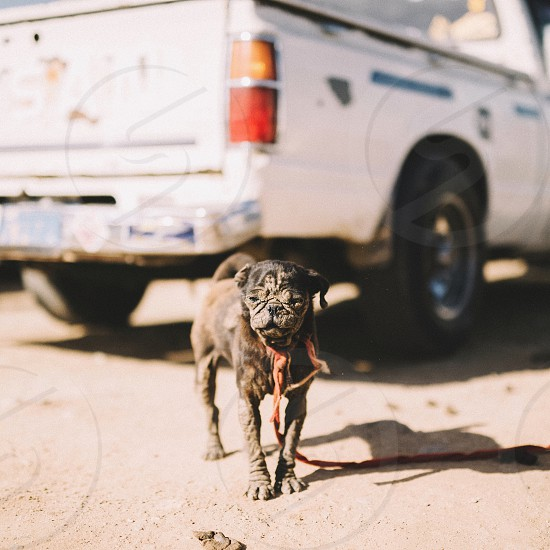 brown short coat small dog standing beside white pick up truck during daytime photo