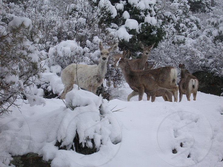 White mule deer photo