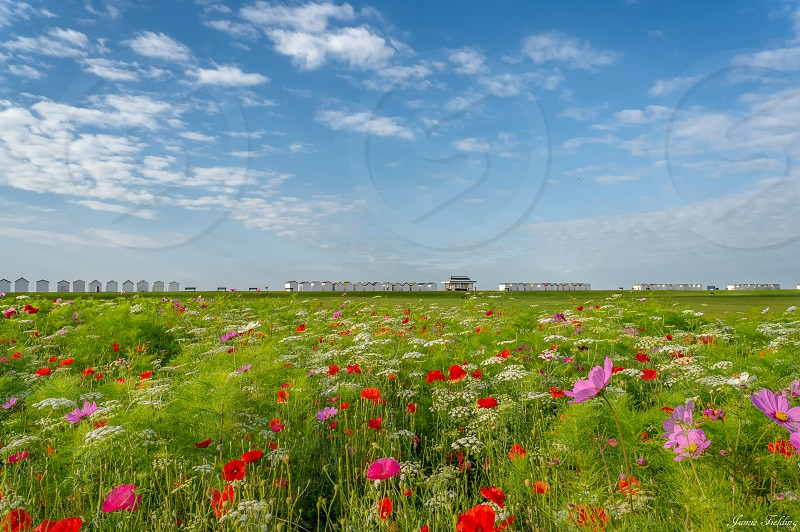Flowers poppies field summer colour Sussex seaside beach huts  photo