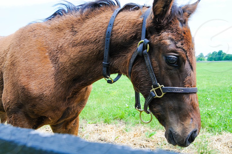 Thoroughbred Colt Kentucky summer pastures photo