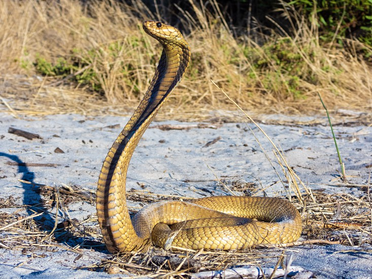 Cape Cobra (Naja nivea) a highly venomous snake (reptile). photo