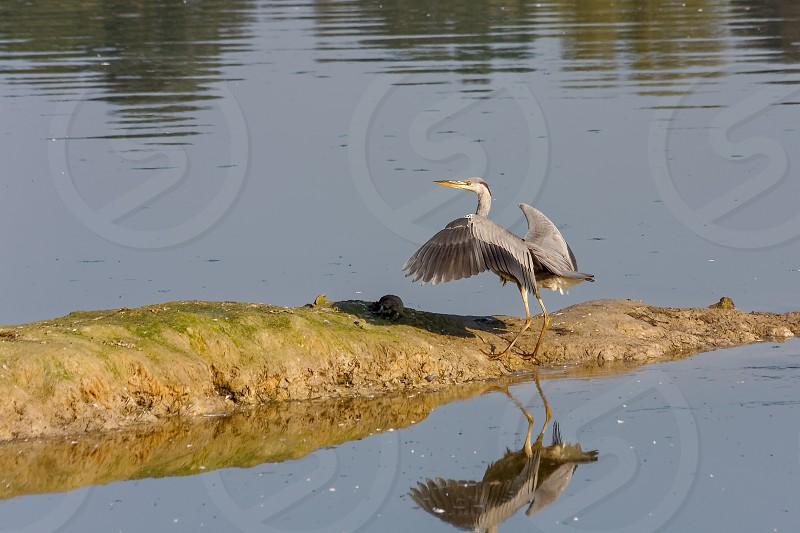 Grey Heron just landed photo