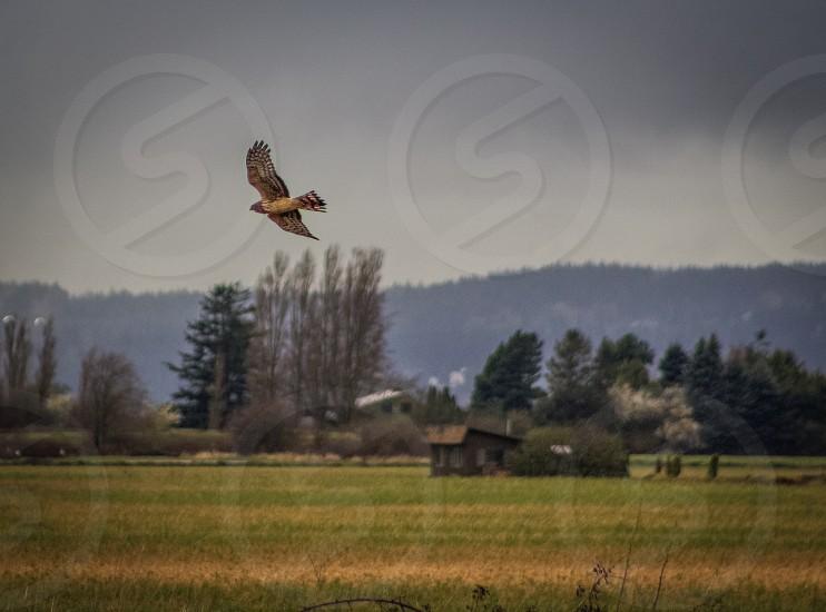 Hawk flying over farmland  photo