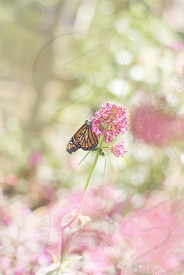 monarch butterfly perched on pink petaled flower photo