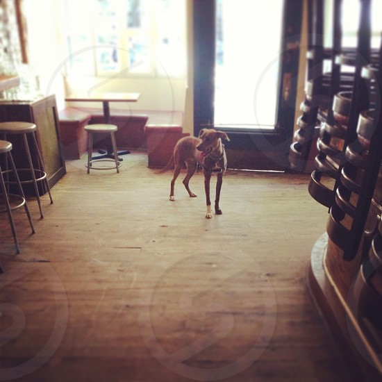 brown short haired dog standing on wooden floor photo