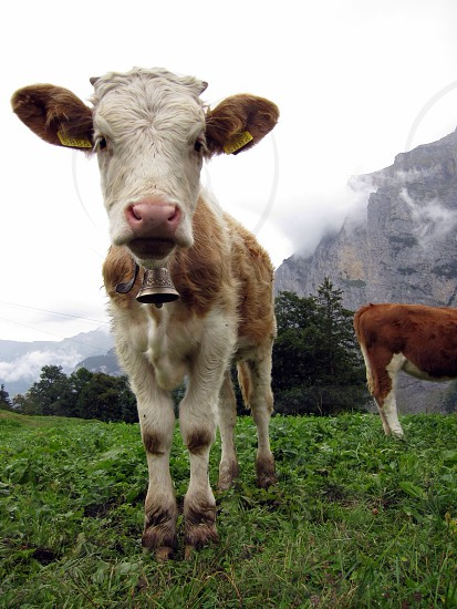 2 cows on grassfieled photo
