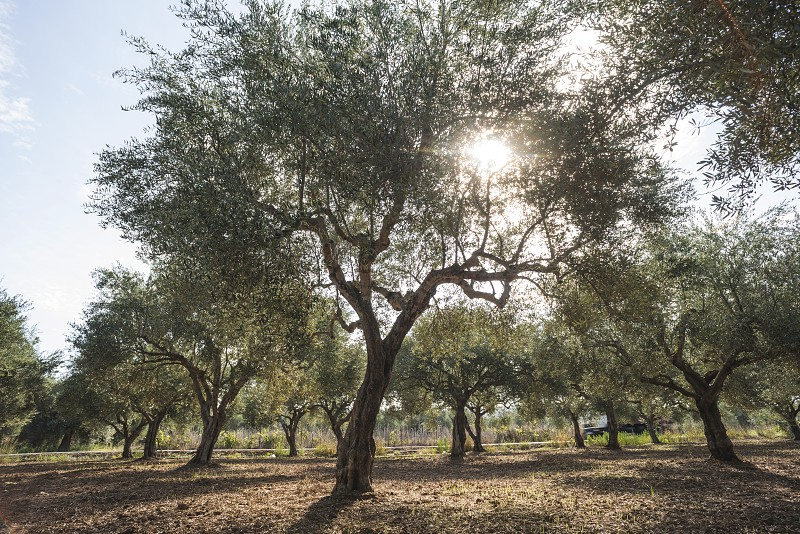 Olive trees and sun rays. Olive plantation photo