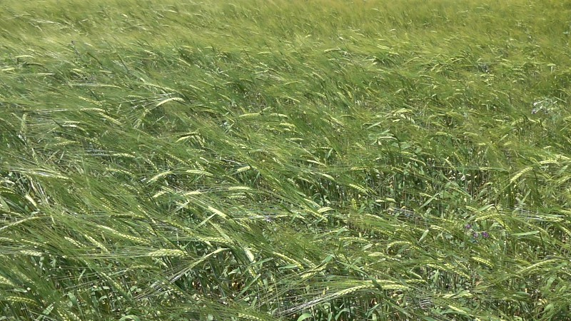 Agricultural field with green waves of slowly moving ears of organic natural wheat or barley in a summer day. Slow motion Full HD video 240fps 1080p. photo