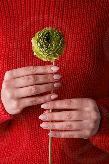 female hands holding a green clove flower against a red knitted sweater concept of valentine's day photo