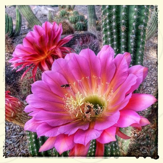 Echinopsis cactus blossom Desert Botanical Garden Phoenix AZ photo