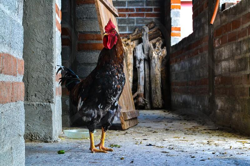Random rooster in a local farm in Oaxaca Mexico photo